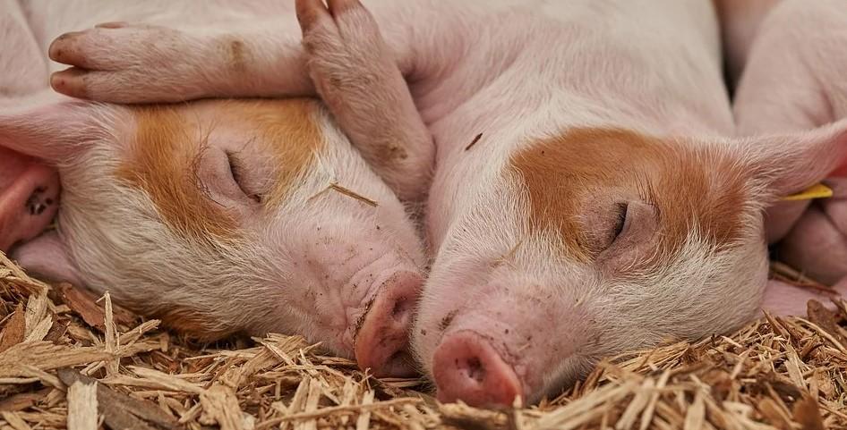 vegetarisch maakt dieren blij
